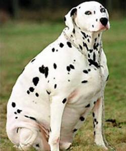 sobrepeso-de-perro